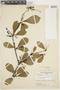 Buchenavia oxycarpa (Mart.) Eichler, COLOMBIA, F