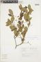 Buchenavia oxycarpa (Mart.) Eichler, BRAZIL, F