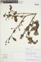 Buchenavia oxycarpa (Mart.) Eichler, BOLIVIA, F