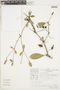 Buchenavia oxycarpa (Mart.) Eichler, PERU, F