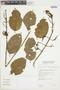 Combretum fruticosum (Loefl.) Stuntz, BOLIVIA, F