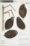 Psittacanthus baguensis Kuijt, PERU, F