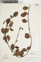 Struthanthus orbicularis (Kunth) Blume, PERU, F
