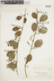 Struthanthus orbicularis (Kunth) Blume, ECUADOR, F