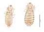 28445 Bucerocolpocephalum deignani PT d IN