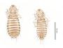 28445 Bucerocolpocephalum deignani PT v IN