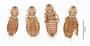28580 Bucerocolpocephalum emersoni PT v IN
