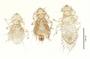 28552 Chapinia traylori PT d IN