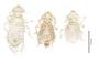 28552 Chapinia traylori PT v IN