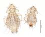 28559 Chapinia traylori PT d IN