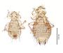 28561 Chapinia traylori PT v IN