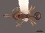 47884 Acanthognathus ocellatus D IN