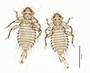 28574 Chapinia traylori PT d IN