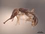47884 Acanthognathus ocellatus P IN