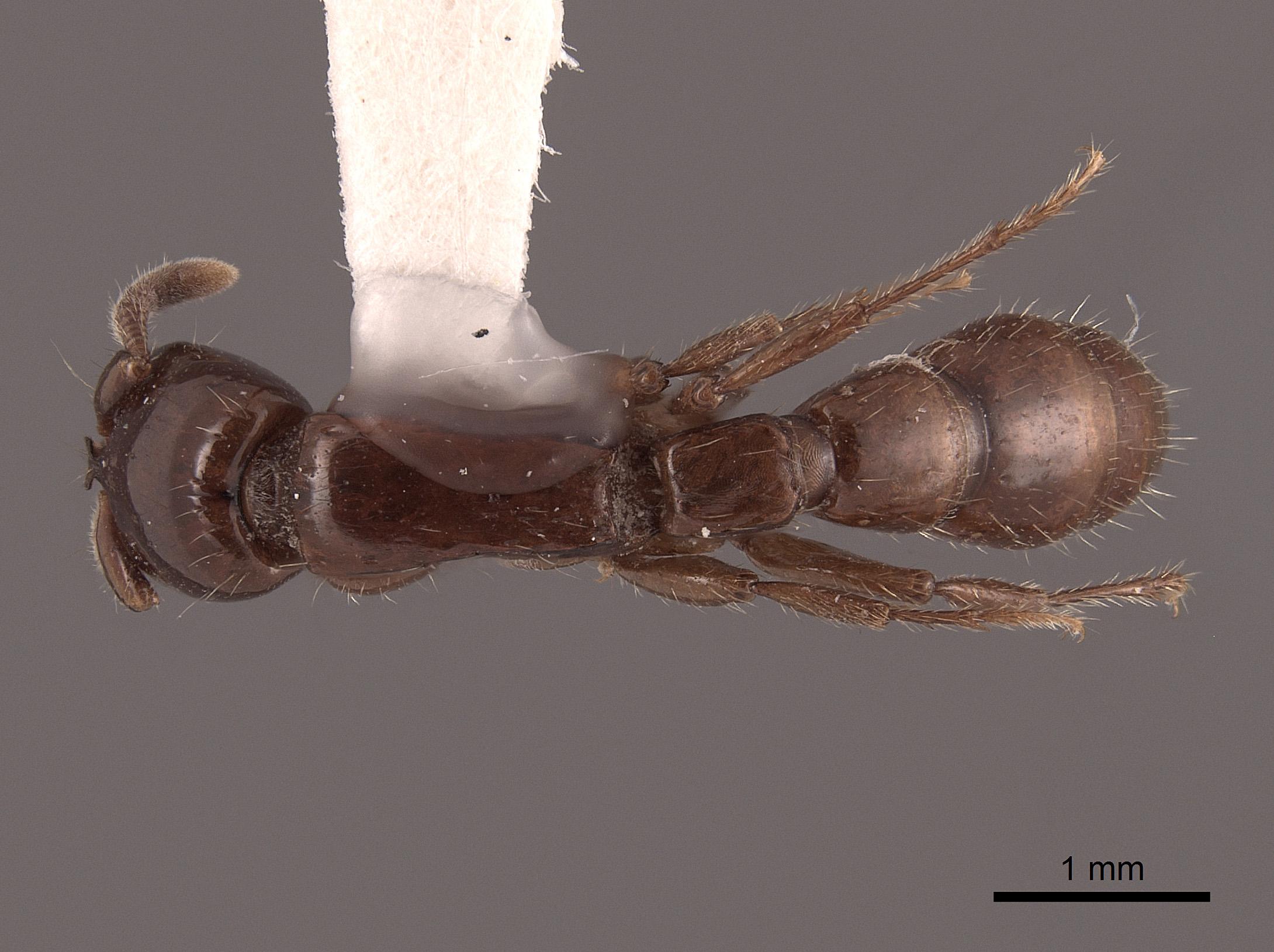 Image of Acanthostichus kirbyi