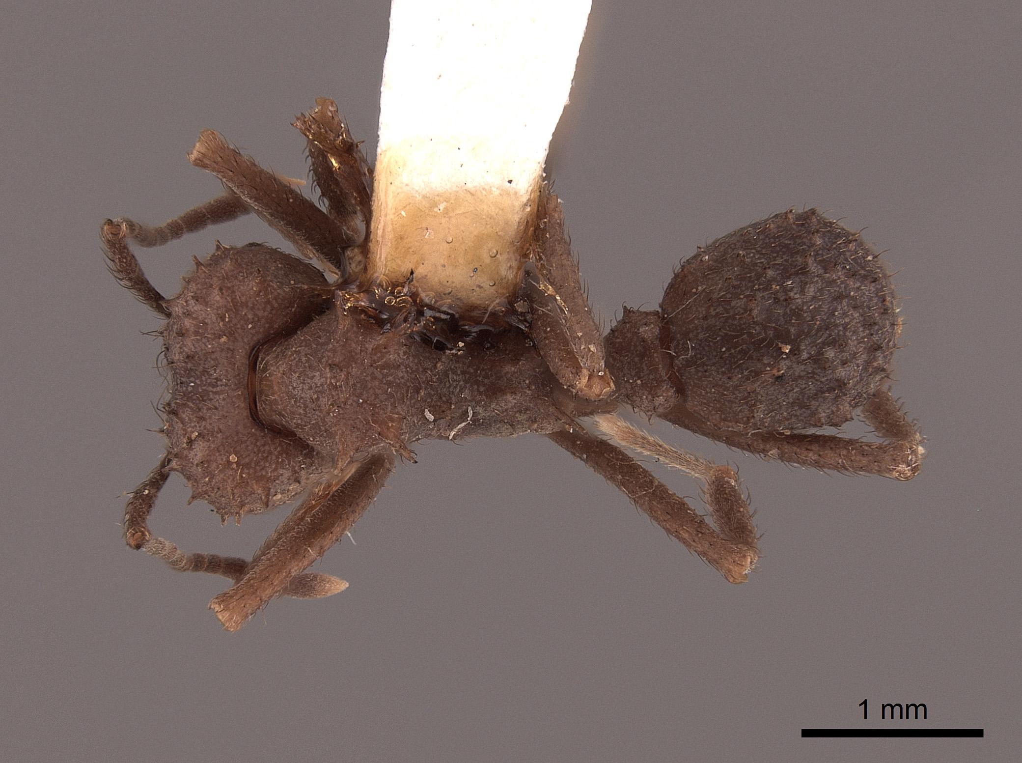 Image of Acromyrmex hispidus