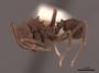 46888 Acromyrmex hispidus fallax P IN