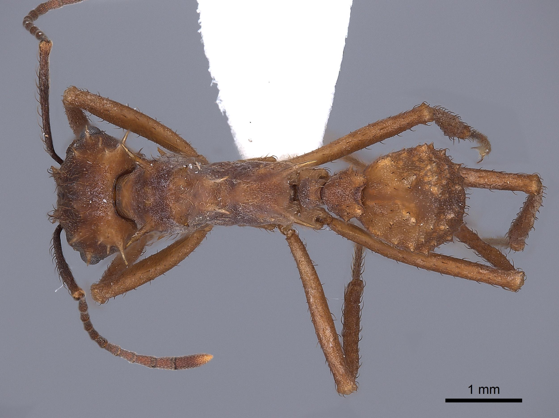 Image of Acromyrmex coronatus