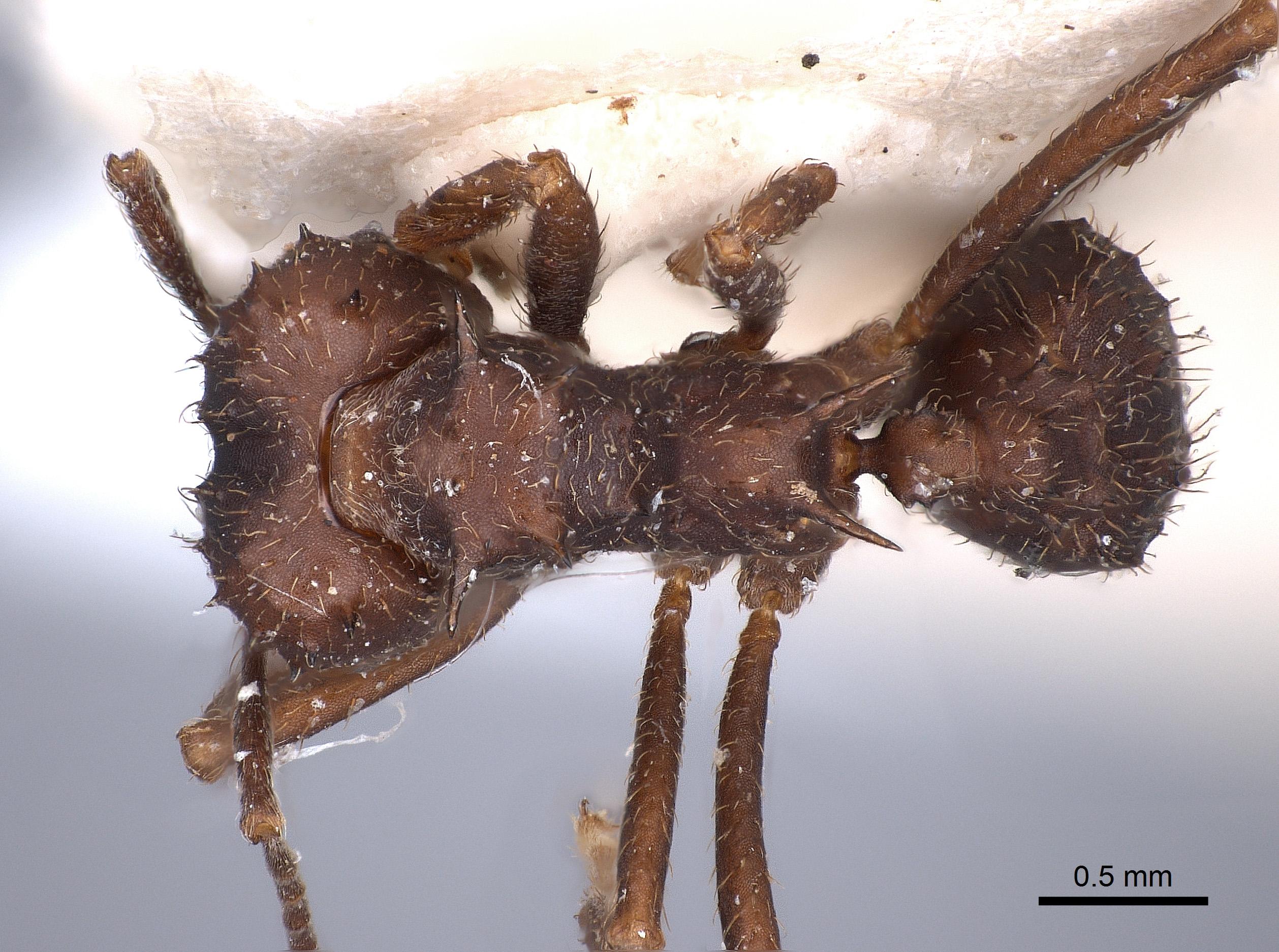 Image of Acromyrmex hystrix