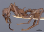 46890 Acromyrmex octospinosus P IN
