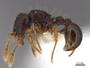 65818 Adelomyrmex biroi P IN