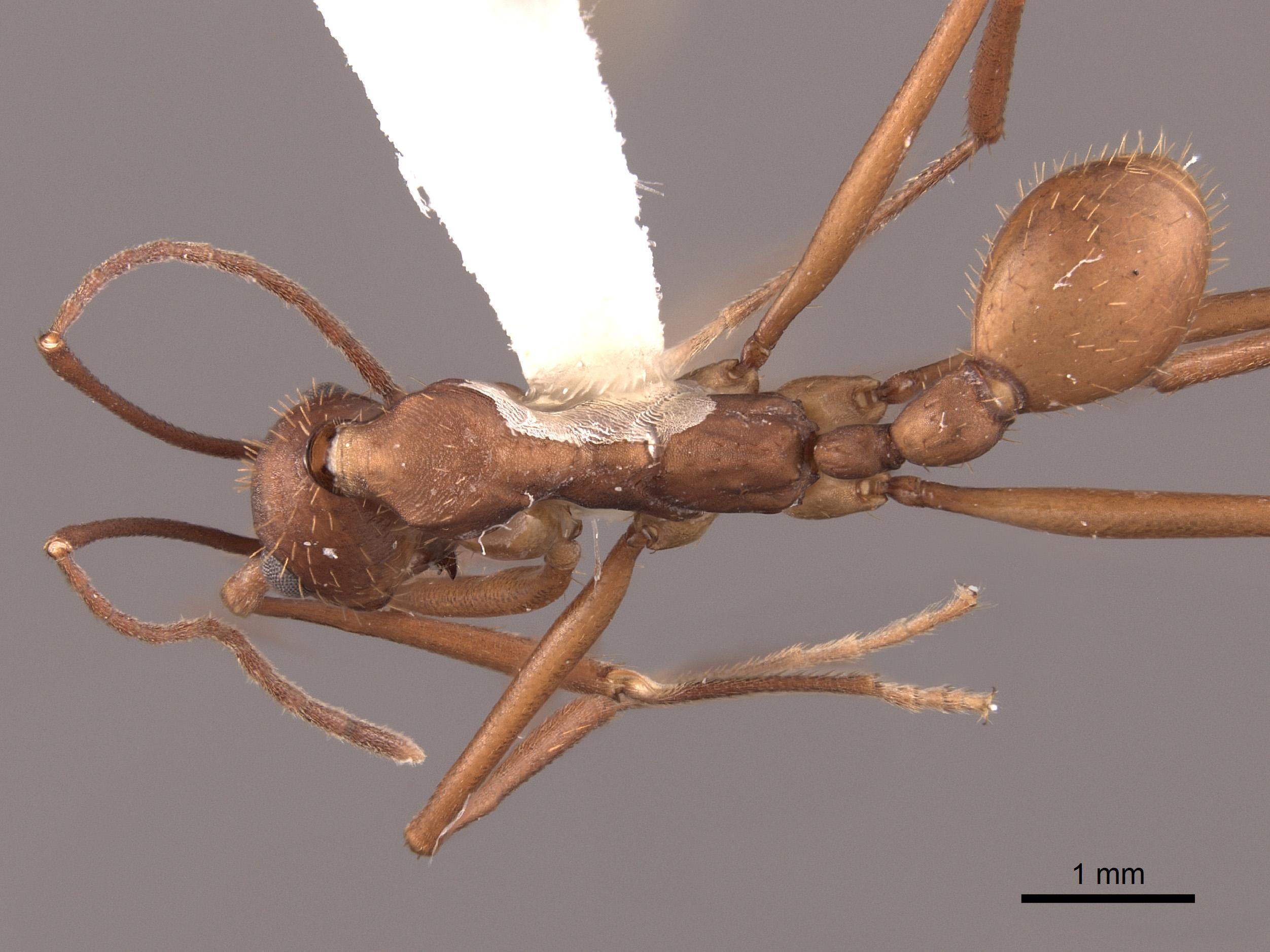 Image of Aphaenogaster araneoides