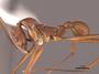 62986 Aphaenogaster araneoides P IN