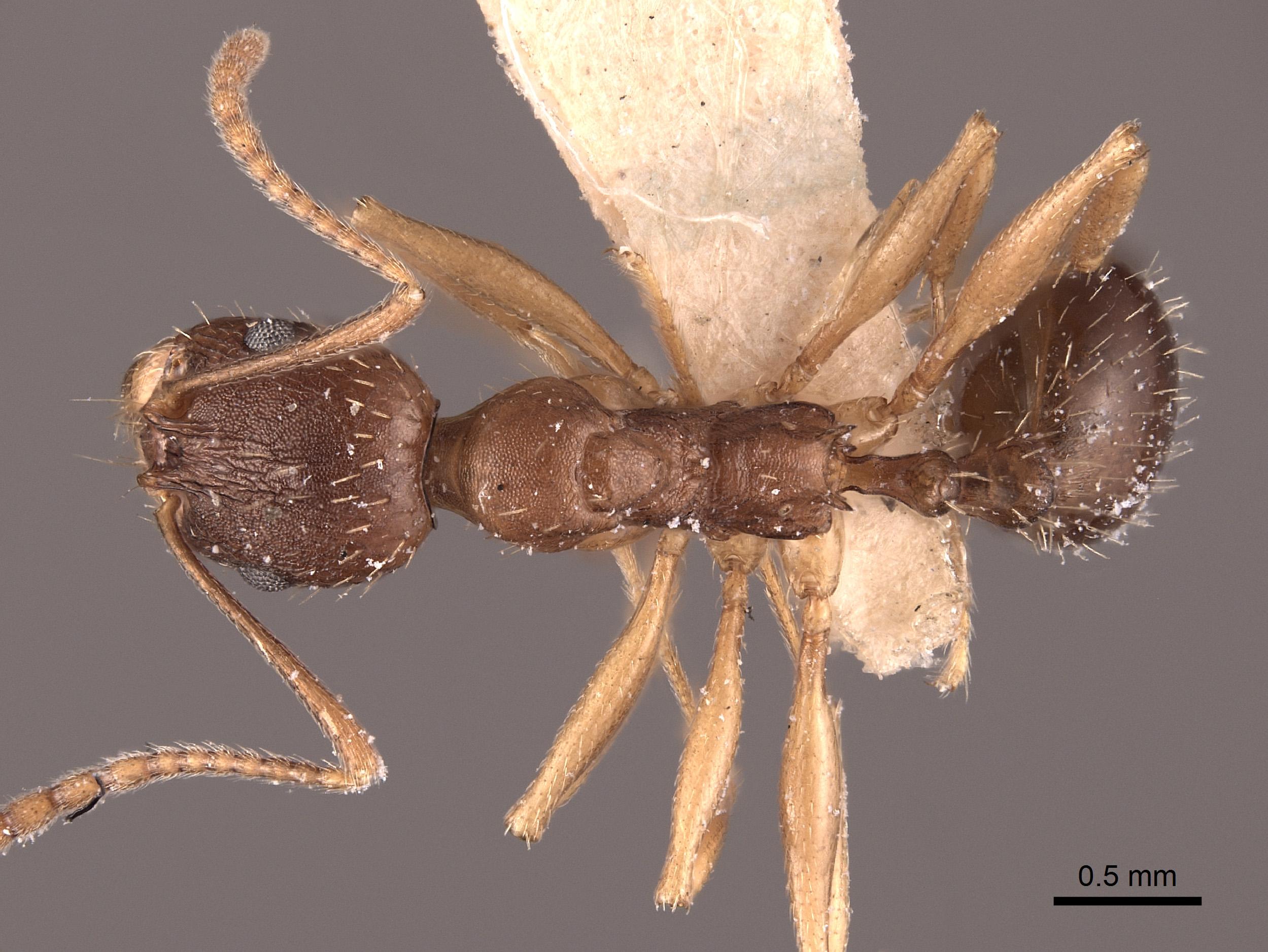 Image of Aphaenogaster aquia