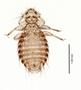 28595 Chapinia fasciati PT v IN