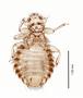 28606 Chapinia fasciati PT v IN