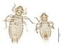 28565 Chapinia traylori PT v IN