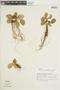 Dorstenia brasiliensis Lam., ARGENTINA, F