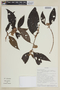 Bellucia egensis (Mart. ex DC.) Penneys, Michelang., Judd & Almeda, SURINAME, F