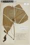 Terminalia catappa image