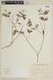 Cuphea racemosa image