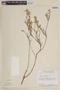 Cuphea spermacoce image
