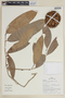 Naucleopsis pseudonaga (Mildbr.) C. C. Berg, PERU, F