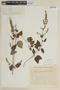 Mesosphaerum pectinatum (L.) Kuntze, BRAZIL, F