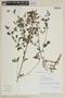 Mesosphaerum pectinatum (L.) Kuntze, PERU, F