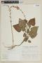 Salvia alborosea Epling & Játiva, PERU, F