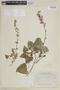 Salvia exserta Griseb., BOLIVIA, F