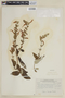 Salvia haenkei Benth., BOLIVIA, F