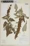 Salvia lanicaulis Epling & Játiva, PERU, F
