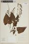 Salvia macrophylla Benth., PERU, F