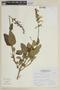 Salvia ochrantha Epling, PERU, F