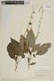 Salvia pauciserrata subsp. calocalicina (Briq.) J. R. I. Wood & Harley, PERU, F
