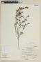 Salvia pseudorosmarinus Epling, PERU, F