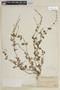 Salvia occidentalis Sw., PERU, F