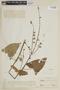 Salvia rhodostephana Epling, PERU, F