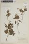 Salvia rhombifolia Ruíz & Pav., PERU, F